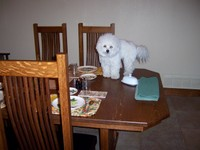 3/16/2006: QBit begins his career as a table surfer, one we haven't yet been able to dissuade him from.