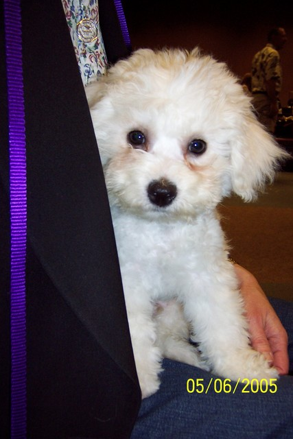 5/6/2005: At the Bichon Nationals, happy to have a new lap.