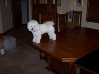 6/27/2006: He'll jump up on the dining room table even if he knows there's nothing edible on it.